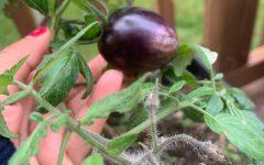 Sophomore Anwitha Sanivarapu shows off her home-grown purple tomatoes she had grown earlier during quarantine.