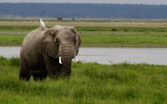 On her trip to Africa, sophomore Katherine Richertook this picture of this elephant in its natural habitat.
