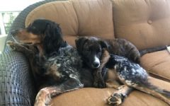 Assistant Principal Amy Parmentier's dog and foster dog became close.