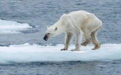 A starving polar bear walks alone on sheet of ice.