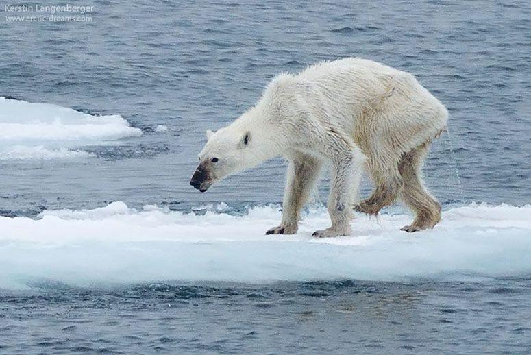 A+starving+polar+bear+walks+alone+on+sheet+of+ice.